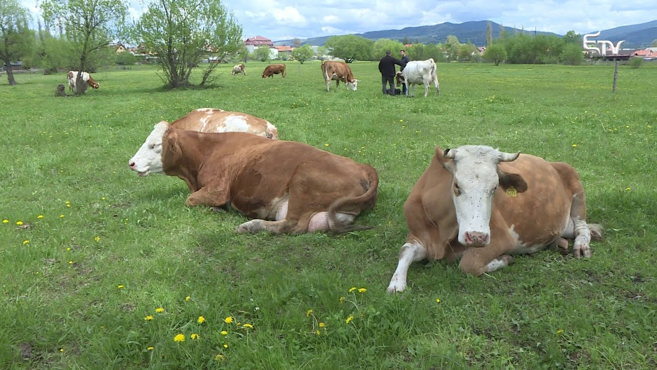hogyan lehet megszüntetni a szarvasmarha fascioliasisát