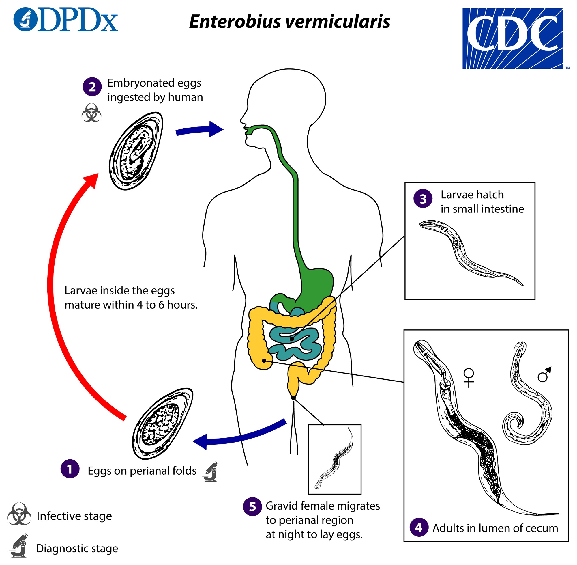 enterobiasis nedir