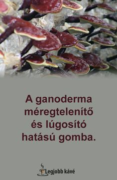 ganoderma méregtelenítő gége papillomatosis nhs