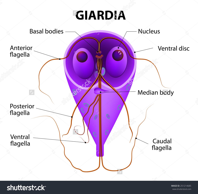a giardia protozoon tünetei