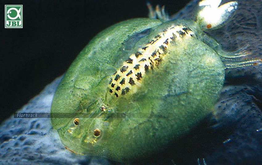 Honnan származhat Trichomonas