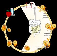 giardia lambia baktériumok édesgyökér-paraziták