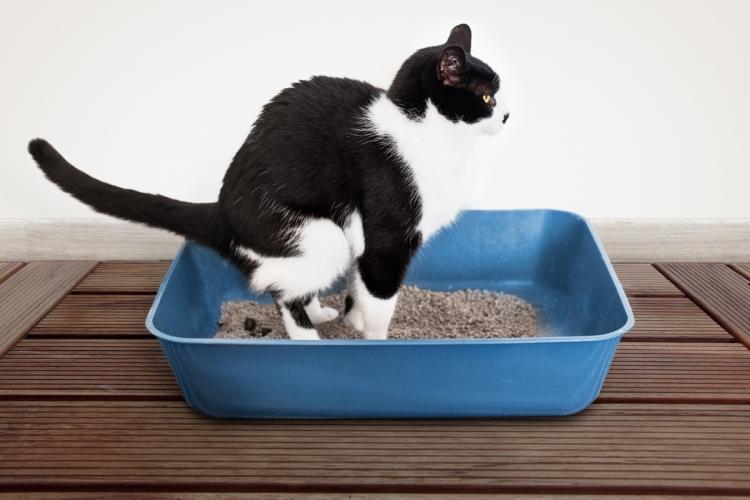 hogyan lehet férgeket vinni egy macskához