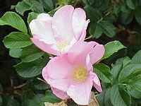 Japán rózsaparaziták honnan kell eltávolítani a papilloma penza-t